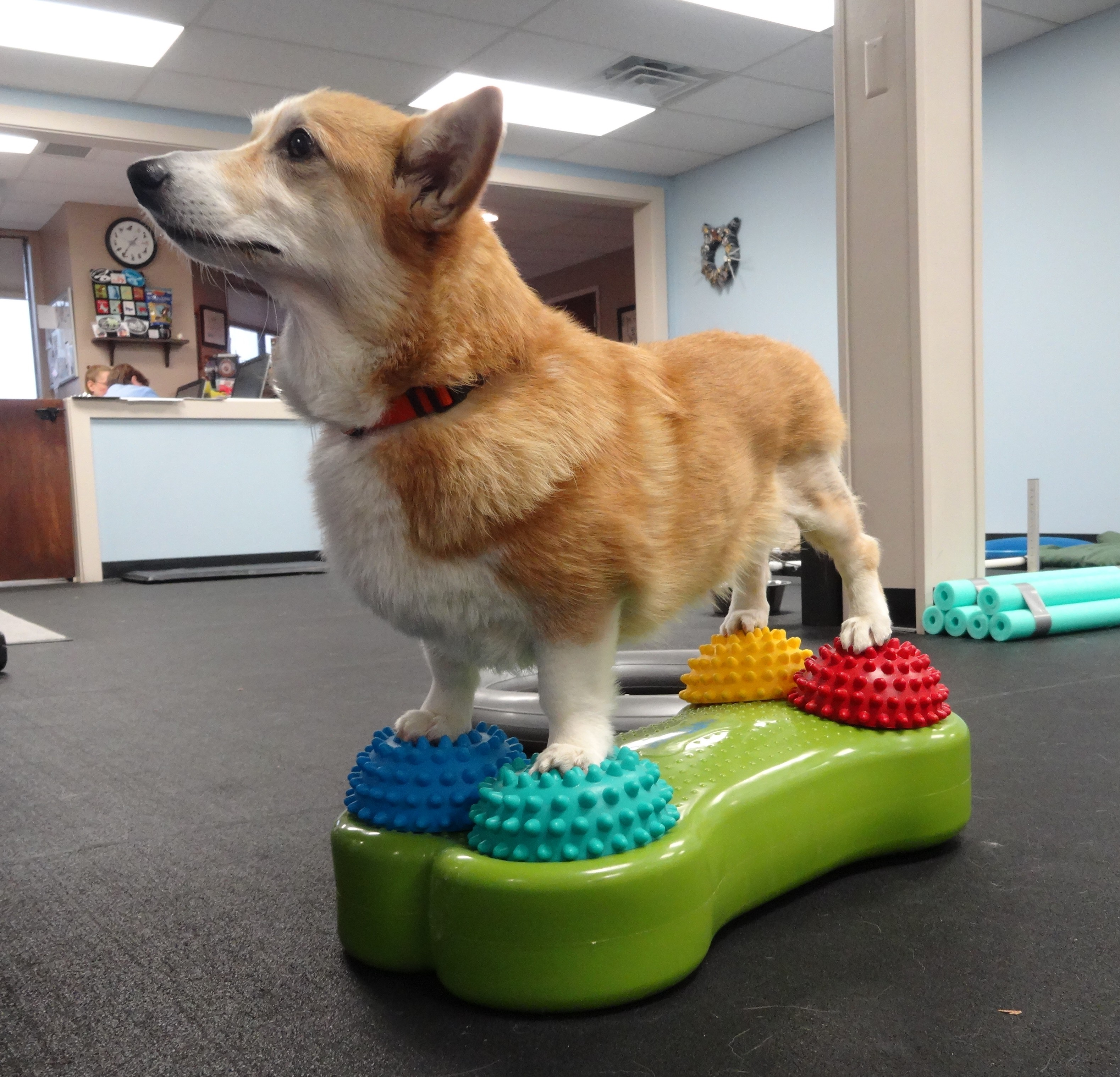 Canine physical therapy - Doods Practices Her Balance After Tplo Surgery On Her Left Knee