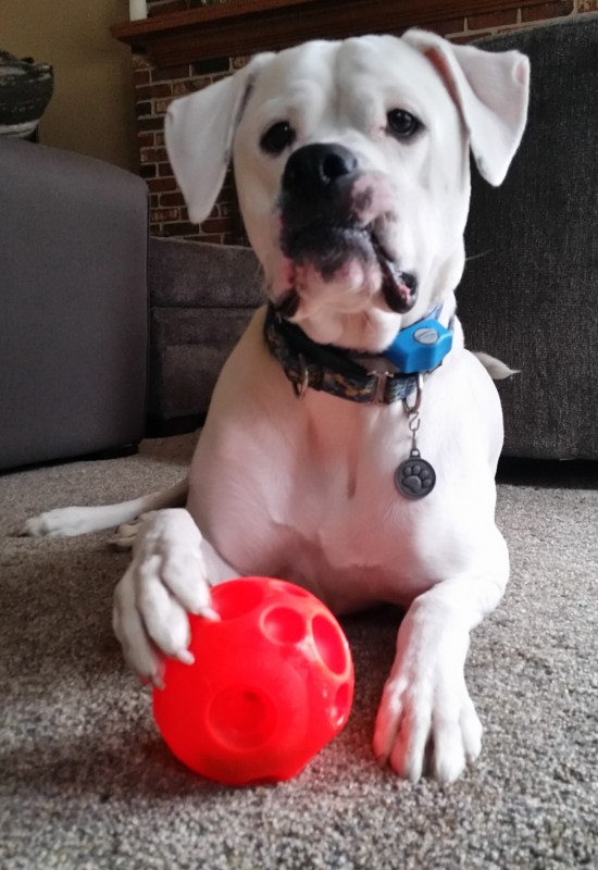 Herc with new toy - 8Feb2016